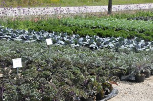 Ornamental Kale & Cabbage at Retail Greenhouse