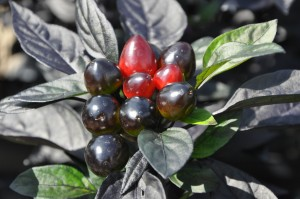 Ornamental Pepper 'Black Pearl'